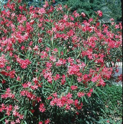 Il linguaggio dei fiori donnefiore uominifiore for Oleandro potatura