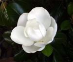 Magnolia_grandiflora.jpg